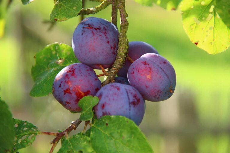 plums-276075_1280